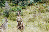 looking up stock photography | Animals, Eastern Grey Kangaroos (Macropus giganteus), image id 5-600-7972