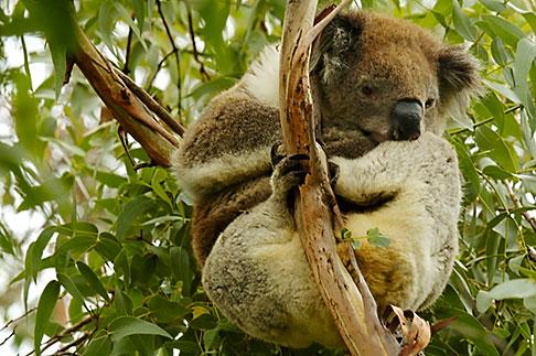 image 5-600-8888 Animals, Koala Phascolarctos cinereus