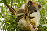 solitary tree stock photography | Animals, Koala (Phascolarctos cinereus), image id 5-600-8888