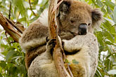 solitary tree stock photography | Animals, Koala (Phascolarctos cinereus), image id 5-600-8889