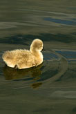 tranquil stock photography | Birds, Black swan cygnet, image id 5-600-8949