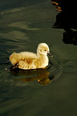 black swan cygnet stock photography | Birds, Black swan cygnet, image id 5-600-8955