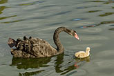 horizontal stock photography | Birds, Black swan and cygnet, image id 5-600-8958