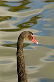 swim stock photography | Birds, Black Swan, image id 5-600-8970