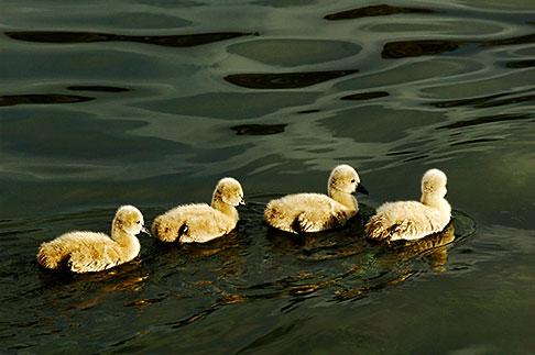 image 5-600-8971 Birds, Black swan cygnets