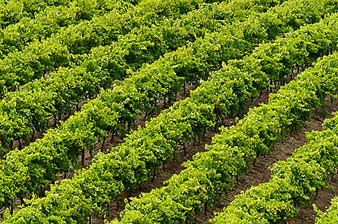 image 5-600-9028 Australia, South Australia, McLaren Vale, Vineyard