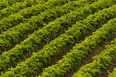 pattern stock photography | Australia, South Australia, McLaren Vale, Vineyard, image id 5-600-9028