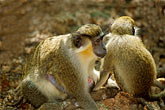 together stock photography | Barbados, St. Peter, Barbados Wildlife Refuge, green monkey, image id 3-387-26