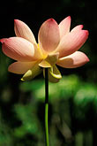 focus on foreground stock photography | Barbados, St. Joseph, Andromeda Gardens, lotus flower, image id 3-387-73