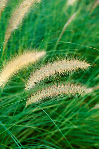 image 3-388-36 Barbados, Grasses