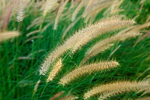image 3-388-37 Barbados, Grasses