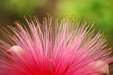 single stock photography | Flowers, Shaving brush flower, image id 3-388-44