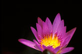 close up stock photography | Flowers, Water lily, image id 3-393-16