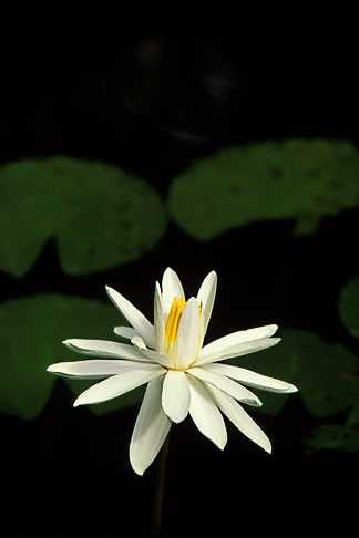 image 3-480-14 Flowers, Water lily