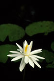 vertical stock photography | Flowers, Water lily, image id 3-480-14