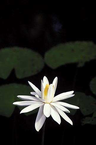 image 3-480-16 Flowers, Water lily