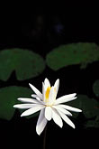 focus on foreground stock photography | Flowers, Water lily, image id 3-480-16