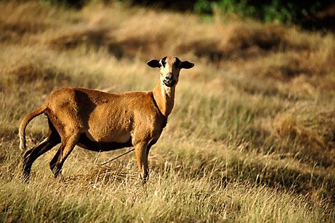 image 3-482-67 Barbados, Black bellied sheep