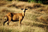ram stock photography | Barbados, Black bellied sheep, image id 3-482-67