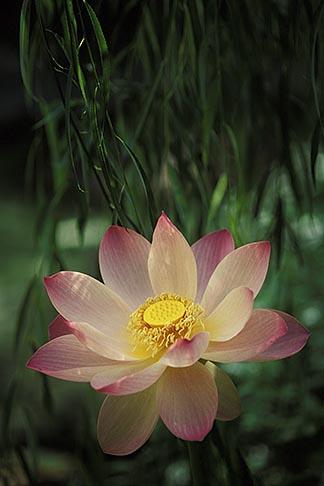 image 3-482-9 Barbados, St Joseph, Lotus flower