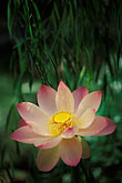 single color stock photography | Barbados, St. Joseph, Andromeda Gardens, lotus flower, image id 3-482-9