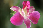 bloom stock photography | Barbados, St. Joseph, Andromeda Gardens, flower, image id 3-491-5