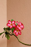 flower and wall stock photography | Barbados, St. Peter, Cobblers Cove, flowering plant, image id 3-493-64