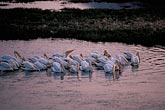 pool stock photography | California, Marin County, White Pelicans, San Rafael, image id 0-485-7