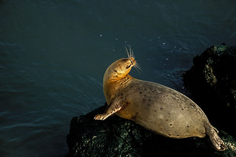 image 1-290-81 California, San Francisco Bay, Harbor Seal, Castro Rocks