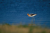 wader stock photography | California, San Francisco Bay, Don Edwards National Wildlife Sanctuary, image id 1-370-21