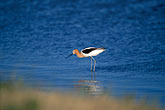 water park stock photography | California, San Francisco Bay, American avocet (Recurvirostra americana) , image id 1-371-8