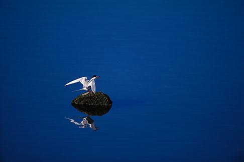 image 1-372-35 California, San Francisco Bay, Forsters tern Sterna forsteri, Alameda