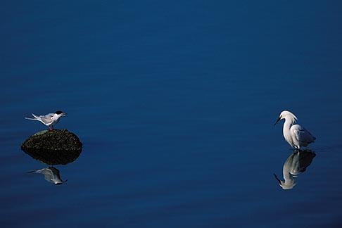 image 1-372-36 California, San Francisco Bay, Forsters tern Sterna forsteri, Alameda