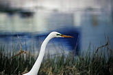 grasses stock photography | California, San Francisco Bay, Great egret (Casmerodius albus), Emeryville, image id 1-372-52
