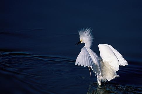image 1-372-9 California, San Francisco Bay, Snowy egret Leucophoyx thula, Alameda