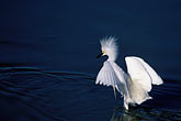 blue water stock photography | California, San Francisco Bay, Snowy egret (Leucophoyx thula), Alameda, image id 1-372-9