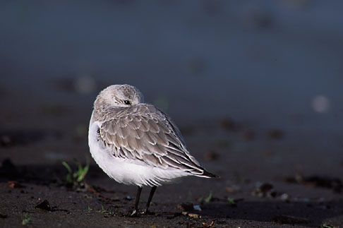 image 1-60-50 California, San Francisco, Sandpiper in winter plumage, Crissy Field, GGNRA
