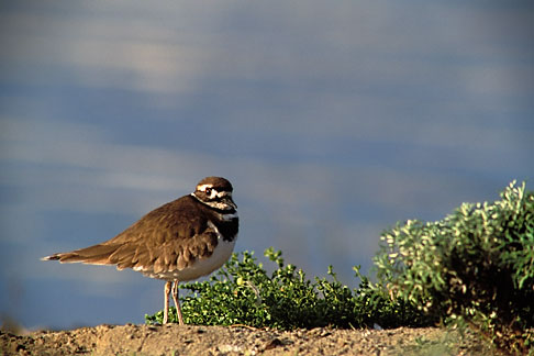 image 1-75-35 California, San Francisco, Crissy Field, GGNRA, Killdeer