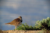 the birds stock photography | California, San Francisco, Crissy Field, GGNRA, Killdeer, image id 1-75-35