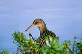 animals stock photography | California, East Bay Parks, Clapper Rail, Arrowhead Marsh, image id 1-853-13