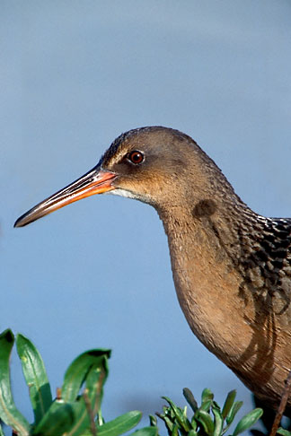 image 1-853-2 California, East Bay Parks, Clapper Rail, Arrowhead Marsh