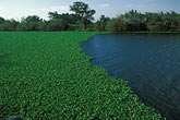 invasion stock photography | California, Delta, Sevenmile Slough, Water hyacinth (Eichhornia crassipes), image id 1-855-16