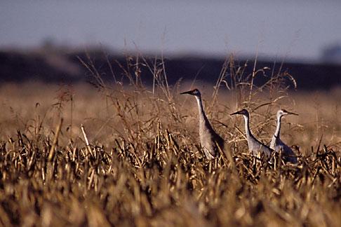 image 1-856-92 California, Delta, Staten Island, Sandhill Cranes