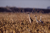 three stock photography | California, Delta, Staten Island, Sandhill Cranes, image id 1-856-92