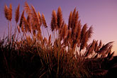 dusk stock photography | California, East Bay, Pampas Grass in Hoffman Marsh, image id 2-146-10