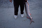 leg stock photography | California, San Francisco Bay, Sturgeon Fishing, San Pablo Bay, image id 2-221-45