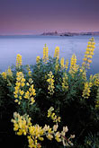 butter lupine stock photography | California, San Francisco Bay, Angel Island State Park, image id 2-410-25