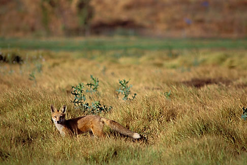 image 2-67-25 California, East Bay Parks, Red Fox Vulpes fulva in Shell Marsh, Martinez