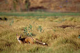 red stock photography | California, East Bay Parks, Red Fox (Vulpes fulva) in Shell Marsh, Martinez, image id 2-67-25