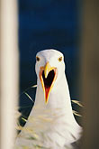 portrait stock photography | Birds, Curious seagull, image id 3-184-16